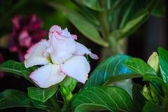 Schönes hybrides Weiß Adenium Obesum (Wüstenrose) überlagert flowe Stockfotografie