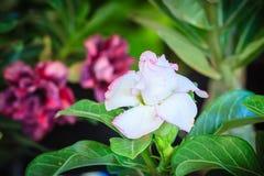 Schönes hybrides Weiß Adenium Obesum (Wüstenrose) überlagert flowe Lizenzfreie Stockfotografie