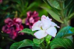 Schönes hybrides Weiß Adenium Obesum (Wüstenrose) überlagert flowe Lizenzfreies Stockbild