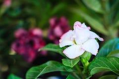 Schönes hybrides Weiß Adenium Obesum (Wüstenrose) überlagert flowe Lizenzfreies Stockfoto