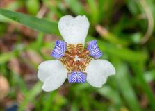 Schönes Iris germanica Lizenzfreies Stockfoto