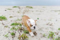Schönes junges Bulldoggenspiel draußen Lizenzfreie Stockbilder