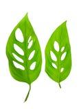 Schönes junges grünes monstera (var expilata) Blätter wird lokalisiert Lizenzfreie Stockfotografie