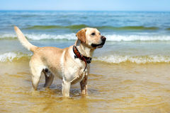 Schönes junges Labrador Stockbilder