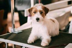 Schönes junges Rauhhaar Jack Russell Terrier Dog Kleines ter lizenzfreie stockbilder