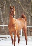 Schönes junges rotes Pferd in der Schneekoppel Stockfoto
