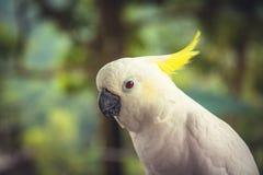 Schönes Kakadupapageienporträt auf unscharfem grünem tropischem Hintergrund im tropischen Wald mit Kopienraum Stockfotos