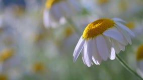 Schönes Kamillenfeld an der Sonne, flache Schärfentiefe Stockfotos