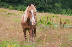 Schönes Kastanienpferd, das in den Wiesen weiden lässt stockfotografie