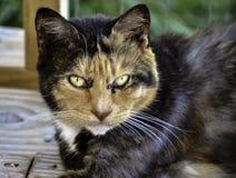 Schönes Katzengesicht, das für die Kamera interessiert schaut Stockbild
