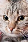 Schönes Katzeportrait Lizenzfreie Stockfotos