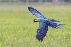Schönes Keilschwanzsittichfliegen auf rece Gebiet Lizenzfreie Stockfotos