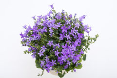 Schönes klares purpurrotes Frühlingsblumenbusch Dalmatiner bellflowe Stockbild