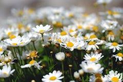 Schönes kleines Gänseblümchen, Weiß und Gelb Lizenzfreies Stockfoto