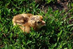 Schönes kleines Küken im grünen Gras Lizenzfreie Stockfotografie