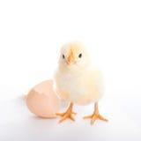 Schönes kleines Küken und Eierschale Lizenzfreies Stockfoto