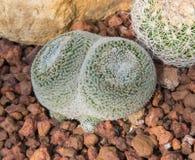 Schönes kleines Kaktus- und Blumenblühen Stockfoto