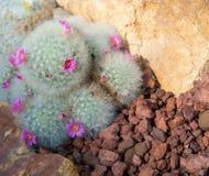 Schönes kleines Kaktus- und Blumenblühen Lizenzfreie Stockfotos