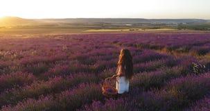 Schönes kleines Mädchen sammelt Lavendel in einem Korb beim Gehen durch ein blühendes Feld in der Zeitlupe stock video footage