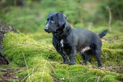 Schönes kleines schwarzer Hundeporträt im Herbstwald, der auf Moos steht Stockfoto