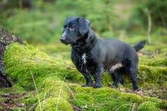 Schönes kleines schwarzer Hundeporträt im Herbstwald, der auf Moos steht Lizenzfreie Stockbilder