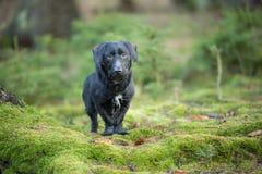 Schönes kleines schwarzer Hundeporträt im Herbstwald, der auf Moos steht Stockfotografie