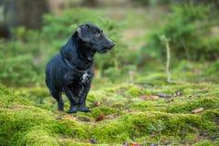 Schönes kleines schwarzer Hundeporträt im Herbstwald, der auf Moos steht Stockbild