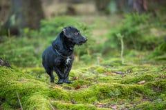 Schönes kleines schwarzer Hundeporträt im Herbstwald, der auf Moos steht Lizenzfreie Stockfotos