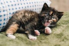 Schönes kleines schwarzes Kätzchen mit den roten und weißen Stellen liegt auf dem Kissen und gähnt stockbilder