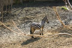 Schönes kleines Zebra Stockbilder
