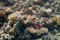 Schönes Korallenriff nahe der Dahab Stadt von Ägypten Lizenzfreie Stockfotografie