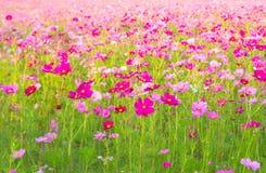 Schönes Kosmosblumenfeld an Jim Thompson-Bauernhof Lizenzfreies Stockfoto