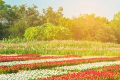 Schönes Kosmosblumenfeld an Jim Thompson-Bauernhof Stockfotos