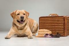 Schönes Labrador mit dem Koffer Stockfotografie