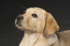Schönes Labrador retriever auf schwarzem Hintergrund Lizenzfreie Stockfotografie