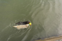 Schönes Labrador retriever-Hundeschwimmen im Meer mit Stockfoto