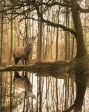 Schönes Landschaftsbild noch des Stromes im See-Bezirkswald mit schönem reifem Rotwild-Hirsch Cervus Elaphus unter Bäumen stockbilder