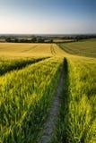 Schönes Landschaftsweizenfeld in hellem Sommersonnenlicht evenin Stockfotografie