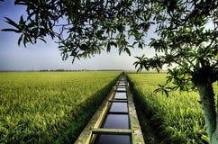 Schönes lanscape des Reisfelds unter dem Kanal des Baums, des blauen Himmels, der Wolke und des Wassers Lizenzfreie Stockfotos