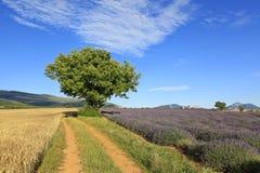 Schönes Lavendel- und Weizenfeld stockbilder