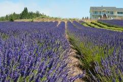 Schönes Lavendelfeld im Sommer stockfotografie