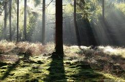 Schönes Licht im nebeligen Koniferenwald stockbild
