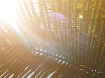 Schönes Licht vom Blendenfleckglanz auf grünem Kokosnusspalmenblattstiel stockfotografie