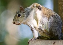 Schönes lokalisiertes Bild mit einem lustigen netten Eichhörnchen, das auf der hölzernen Hecke itching ist Lizenzfreies Stockfoto