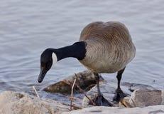Schönes lokalisiertes Bild mit einer netten Kanada-Gans auf dem Ufer Lizenzfreies Stockbild