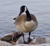 Schönes lokalisiertes Foto einer netten Kanada-Gans auf dem Ufer Lizenzfreie Stockfotos
