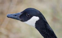 Schönes lokalisiertes Foto einer netten Kanada-Gans im See Stockfotografie