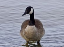Schönes lokalisiertes Foto mit einer netten Kanada-Gans im See Lizenzfreie Stockfotos