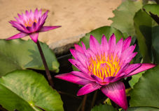 Schönes Lotus Stockfoto