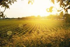 Schönes Maisfeld am sonnigen Abend mit Apfelgarten und trocknen Stockfotografie